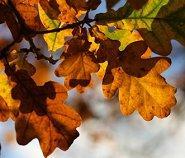 feuilles de chêne montrant l'astrologie celtique